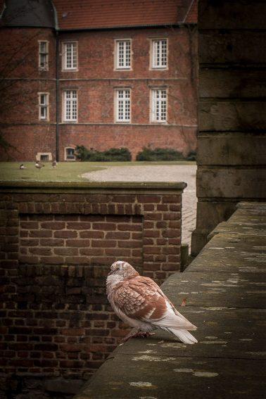 Taube auf einer Mauer bei Schloss Herten