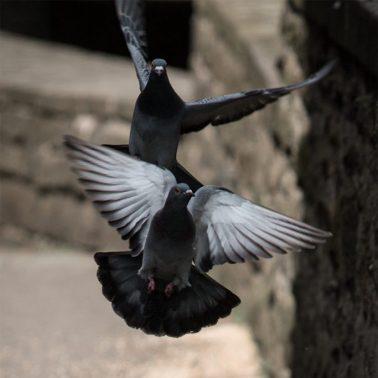 Zwei Tauben im Flug in Langenberg