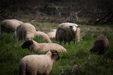 Gruppe von Schafen, eines schaut in die Kamera