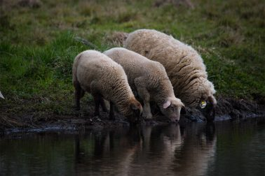drei Schafe trinken aus dem Fluss