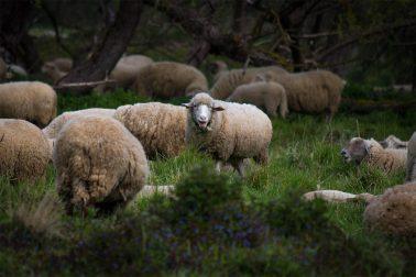 Gruppe von Schafen - eines schaut in die Kamera