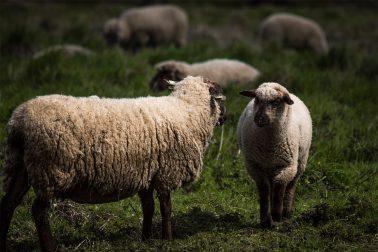 Zwei Schafe stehen sich gegenüber